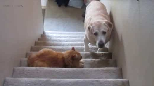 DOGS-AFRAID-OF-CATS-HD-Funny-Pets