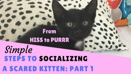 From-Hiss-to-Purrr-Steps-to-Socializing-a-Scared-Kitten-Part-1