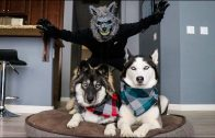 Scary-Werewolf-Prank-On-My-Huskies-attachment