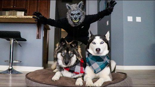 Scary-Werewolf-Prank-On-My-Huskies