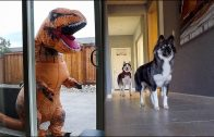 T-Rex-Burglar-PRANK-On-My-Huskies-attachment