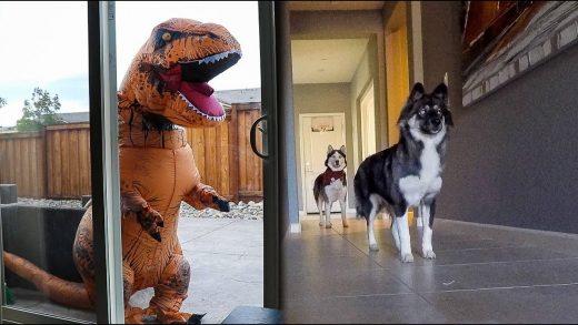 T-Rex-Burglar-PRANK-On-My-Huskies